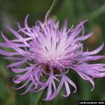 wiesen-flockenblume