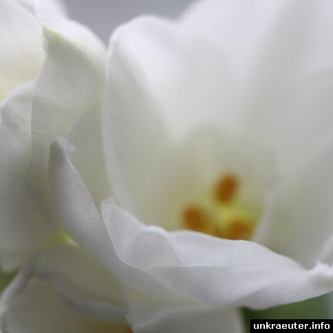 narcissus-tazetta