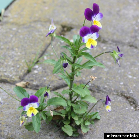 Viola tricolor (Acker-Stiefmütterchen)