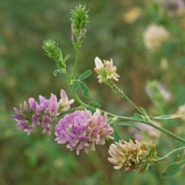 Luzerne rosa