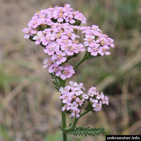 achillea millefolium rosa