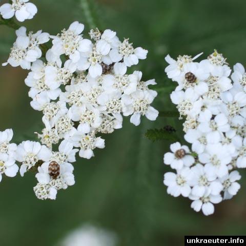 schafgarbe käfer