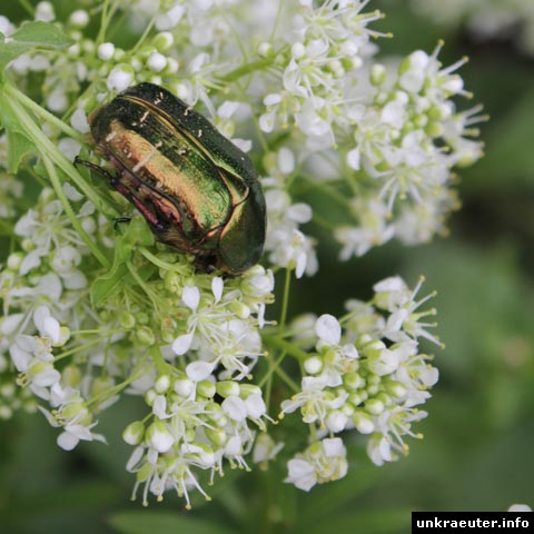 rosenkäfer