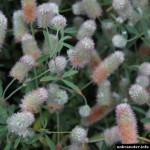 Trifolium arvense