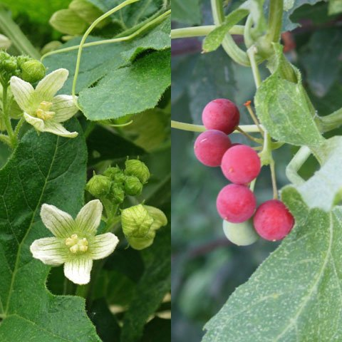 Bryonia-dioica-480