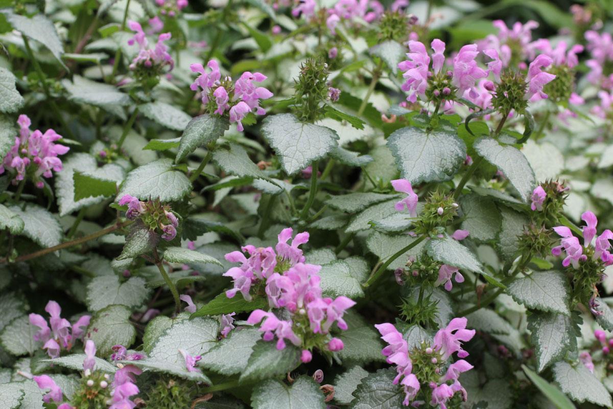 Lamium-maculatum-Pink-Chablis
