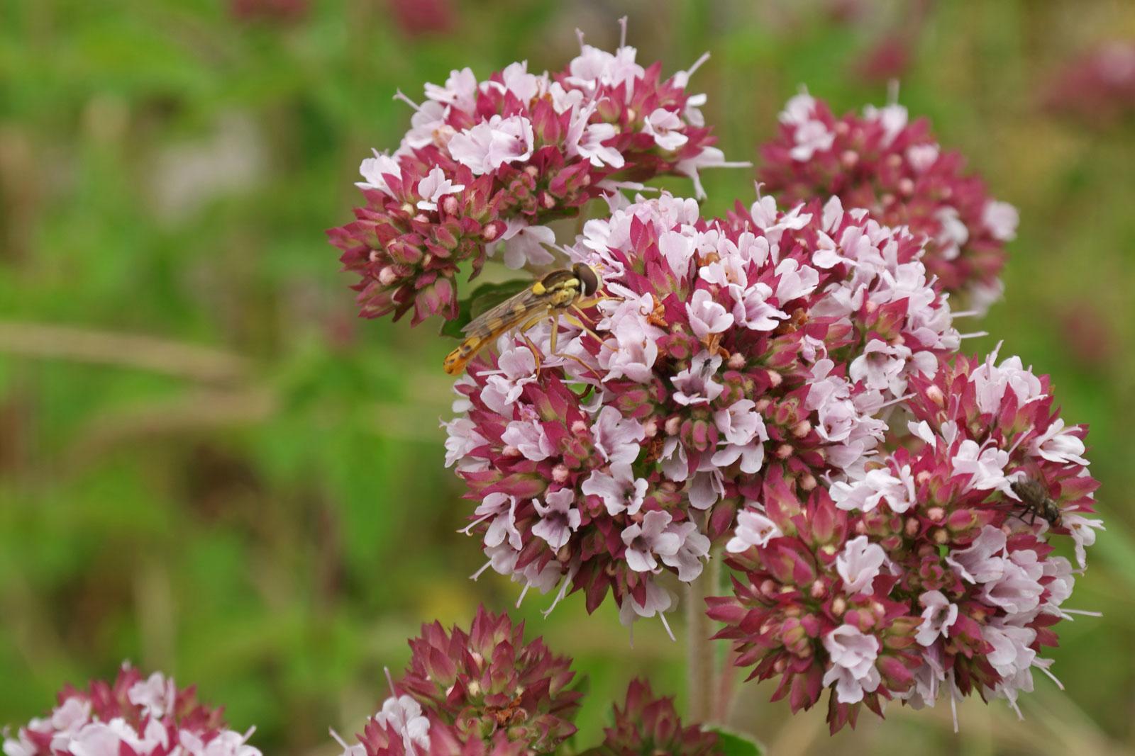 Majoran-Blüten