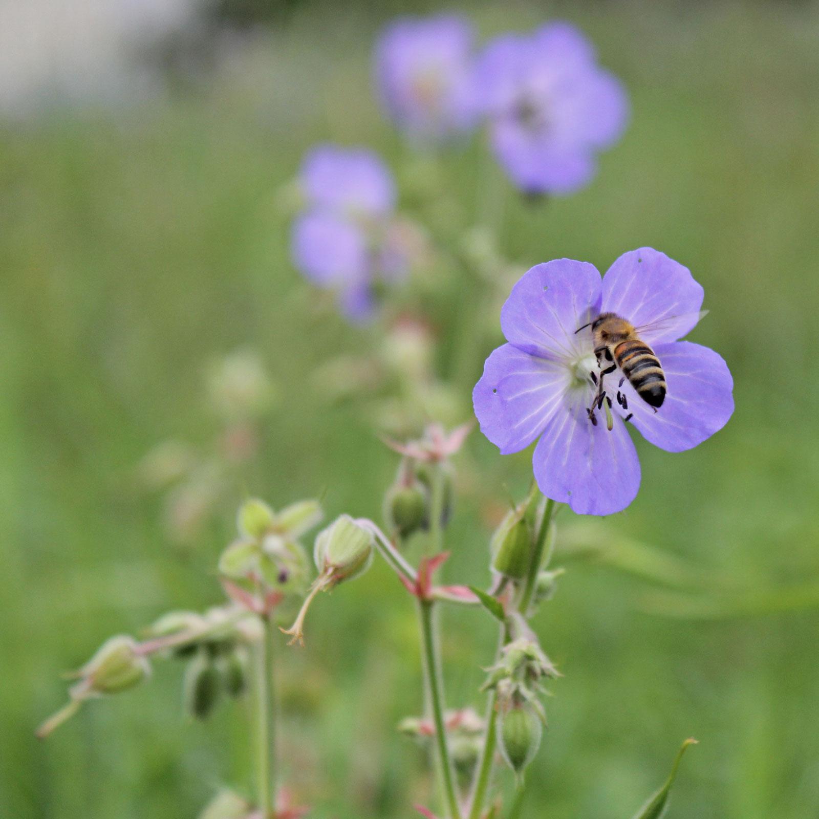 Storchschnabel-Biene