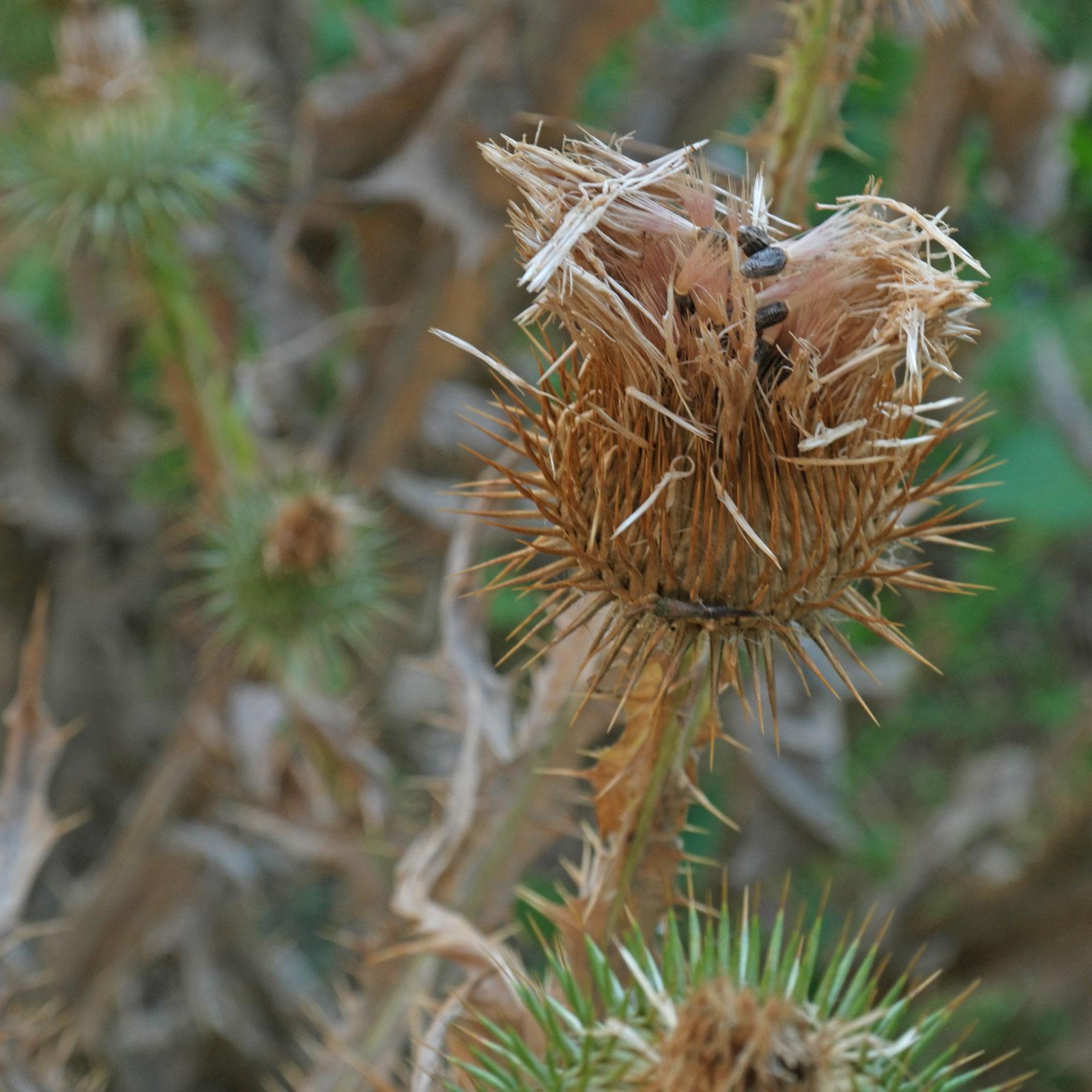 Onopordum acanthium