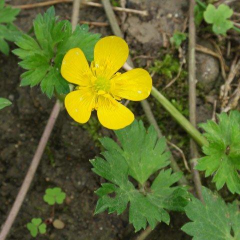 Ranunculus-repens-480