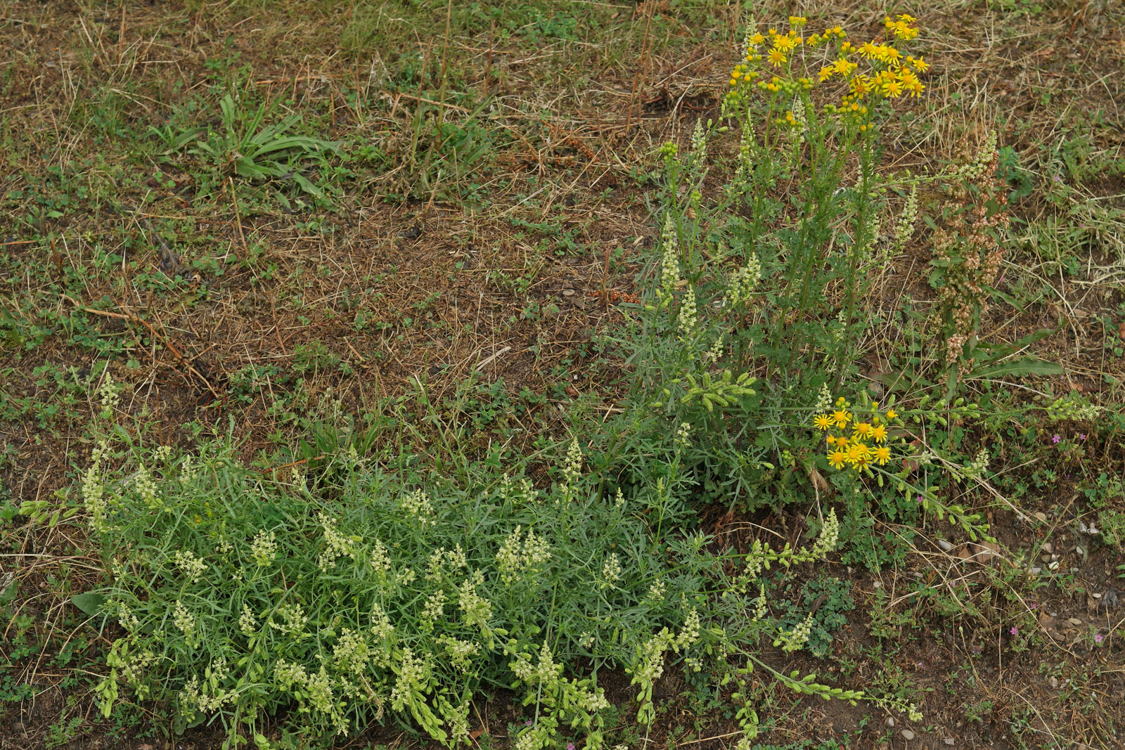 Reseda lutea & Jacobaea vulgaris