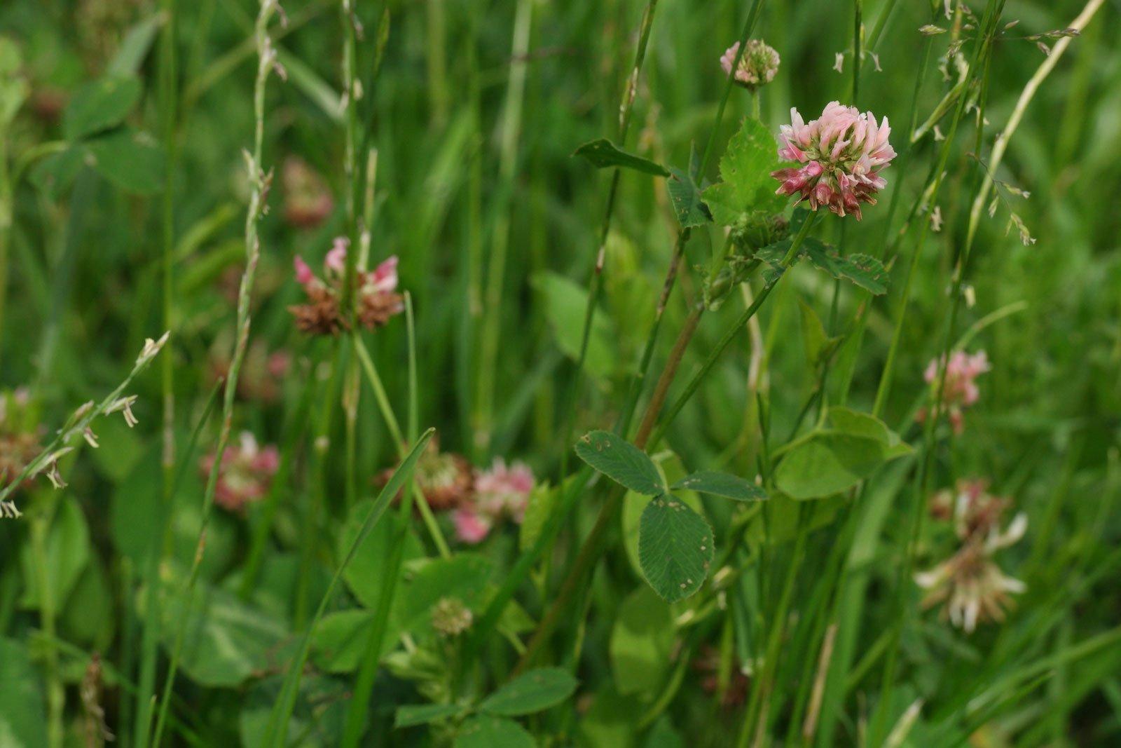 Trifolium hybridum