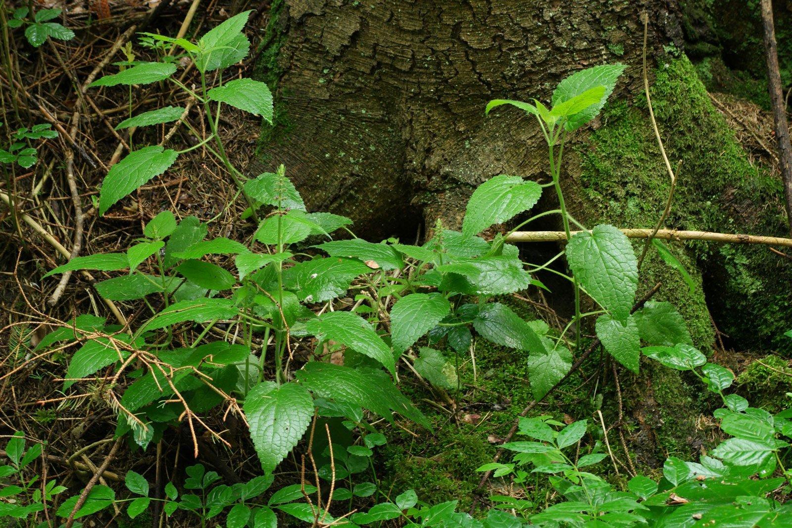 Wald-Ziest