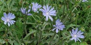 Blau Lila