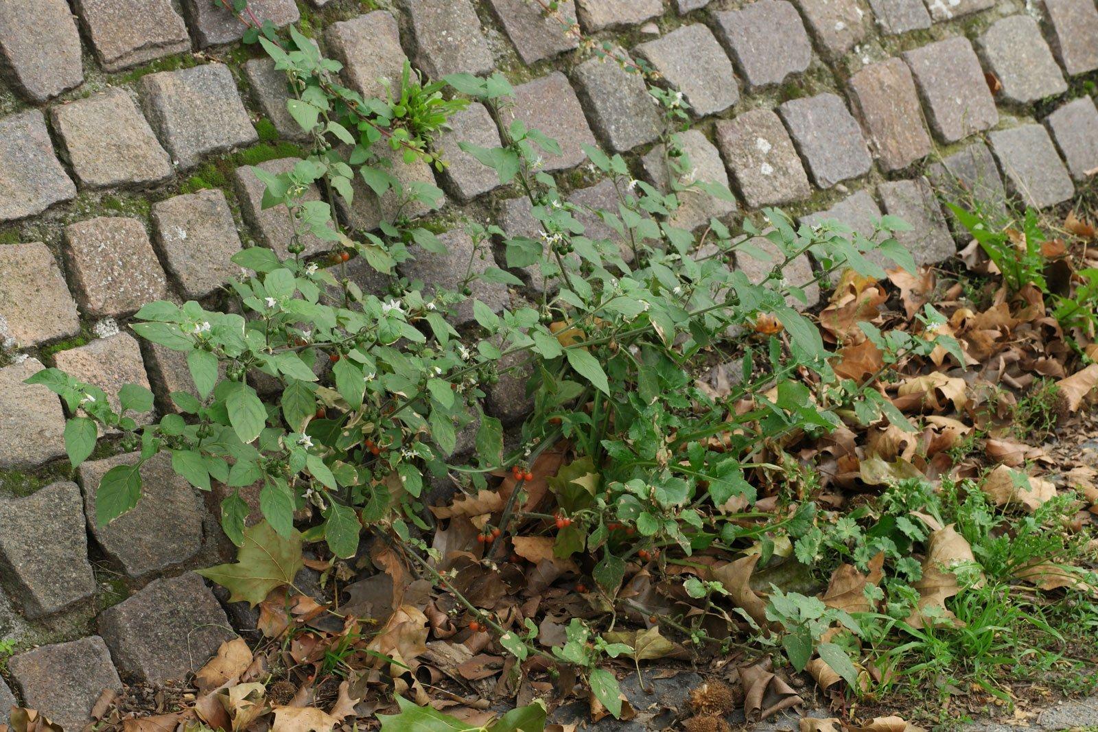 Solanum villosum