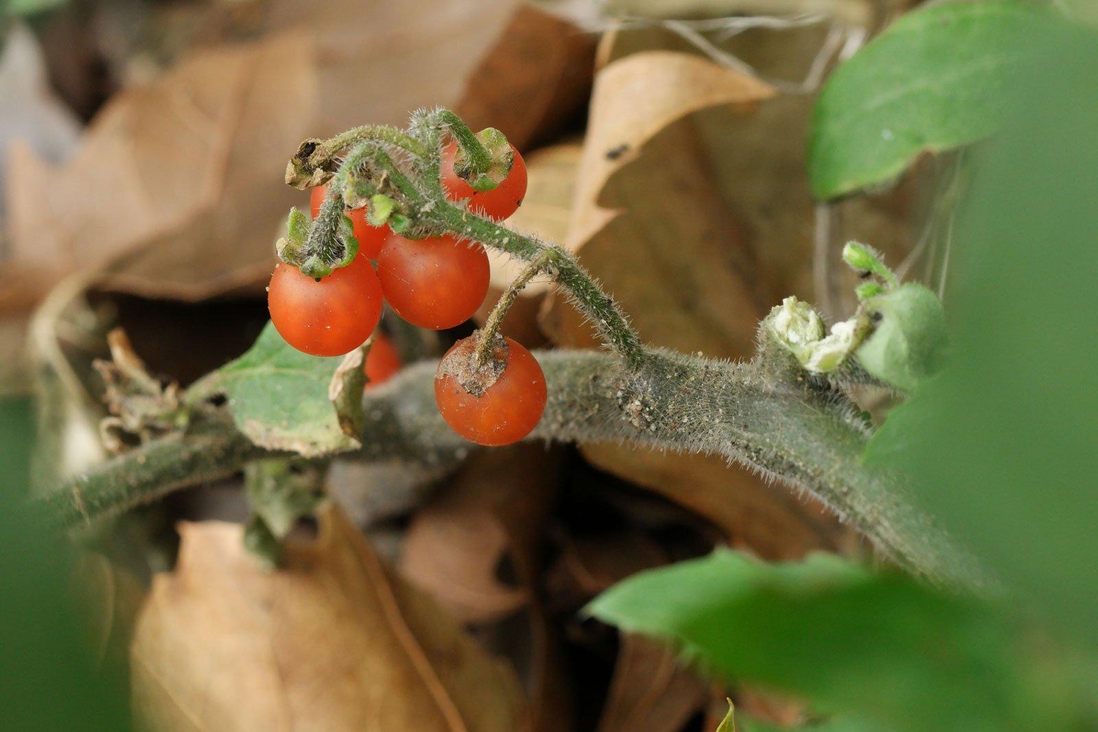 Solanum-villosum