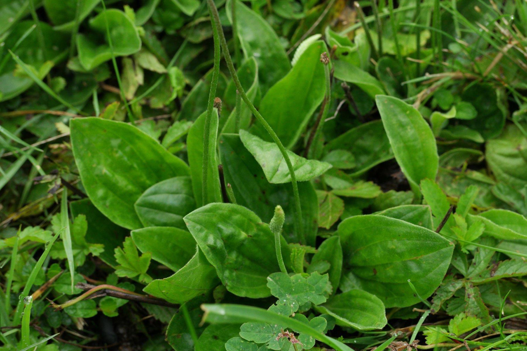 Mitlerer Wegerich Blätter