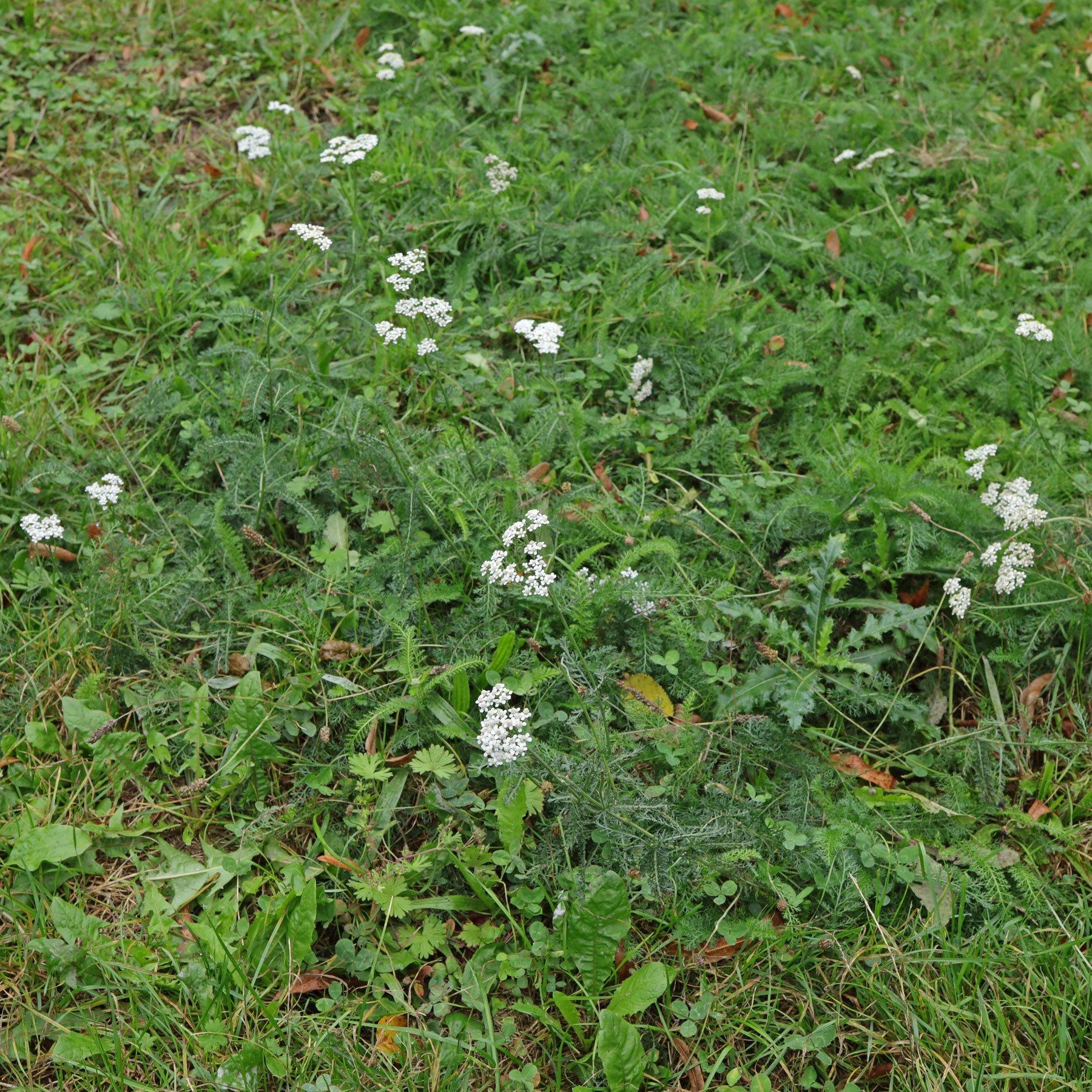Schafgarbe im Rasen