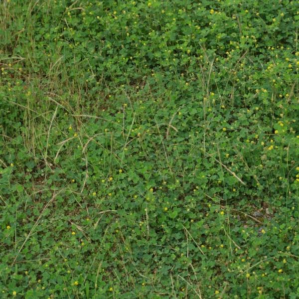 Hopfen-Schneckenklee im Rasen