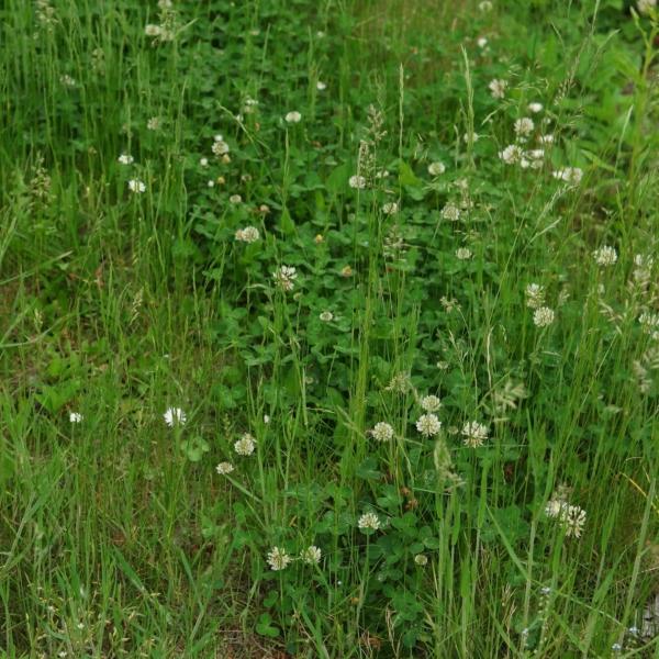 Weißklee im Rasen