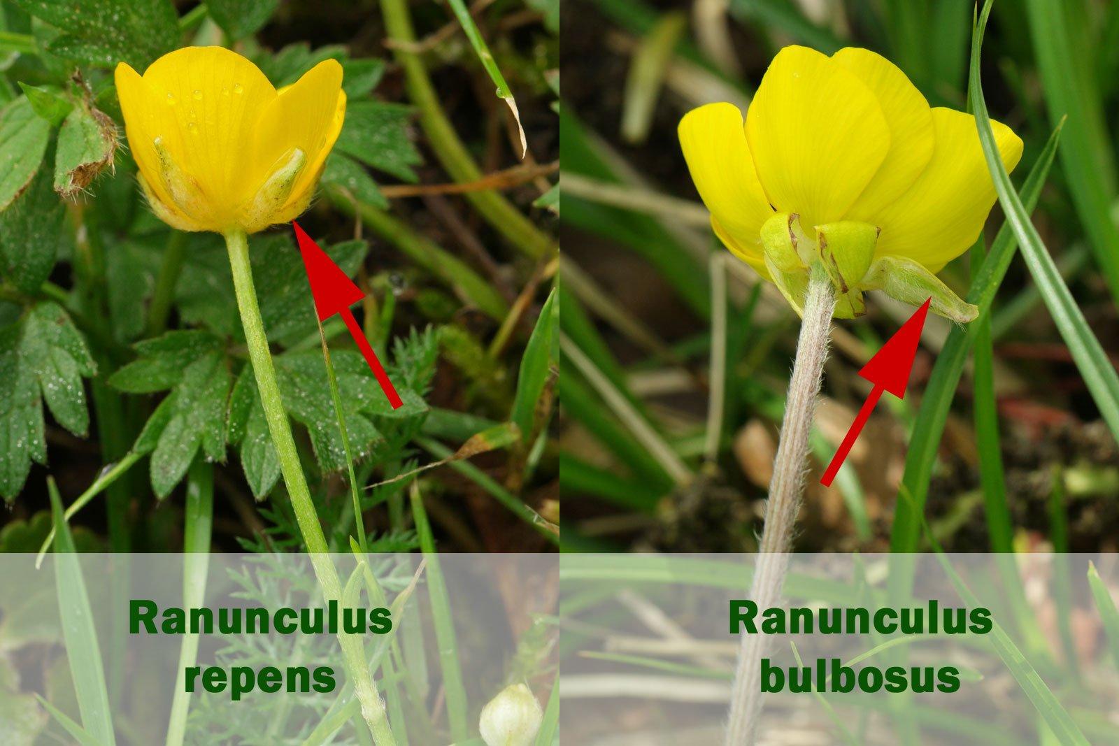 Ranunculus repens und bulbosus
