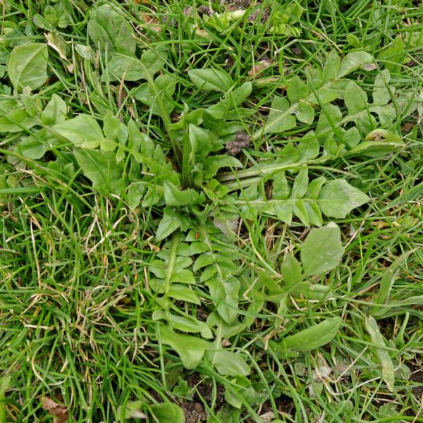 Hirtentäschel im Rasen