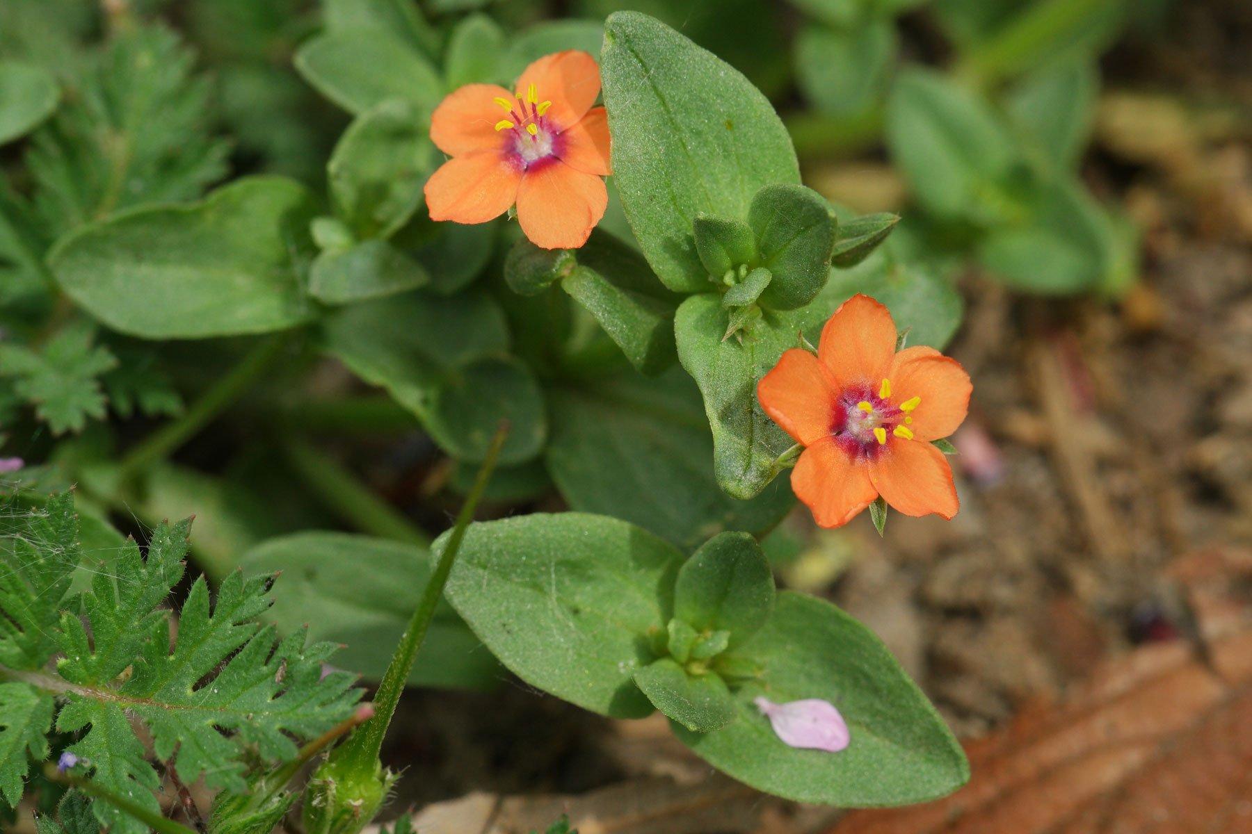 Acker Gauchheil Blüten