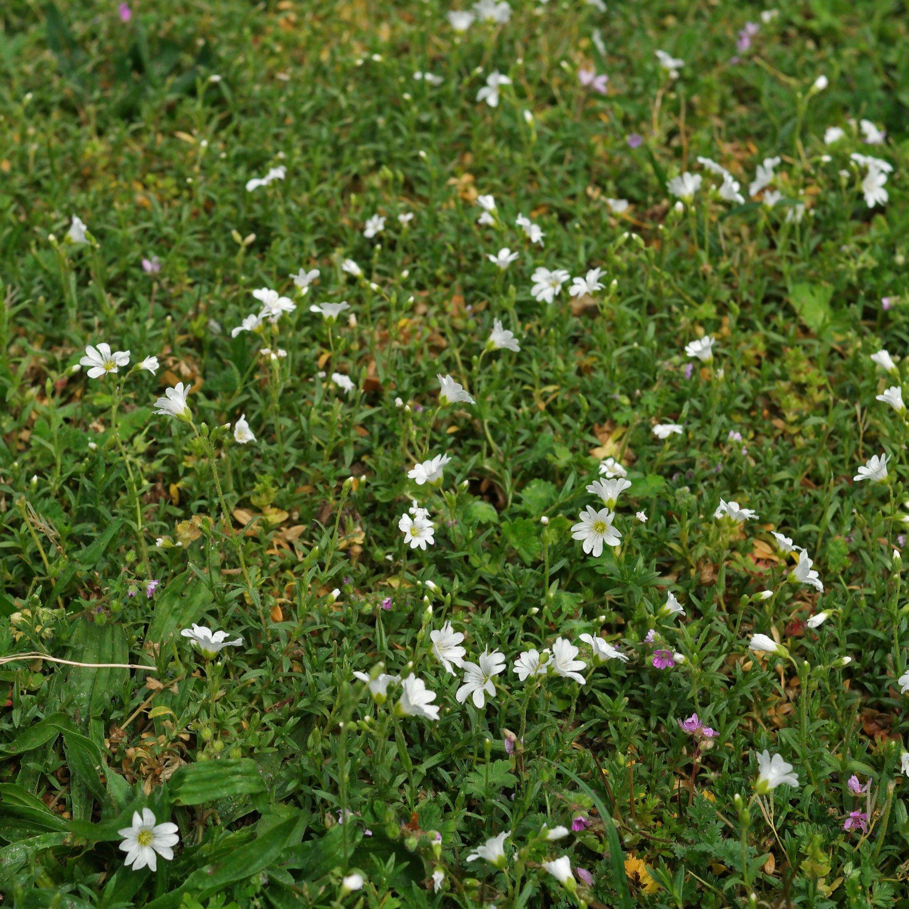 Acker Hornkraut im Rasen