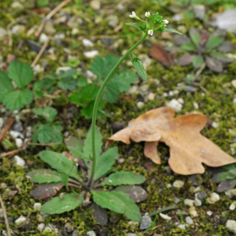 Acker Schmalwand Arabidopsis thaliana