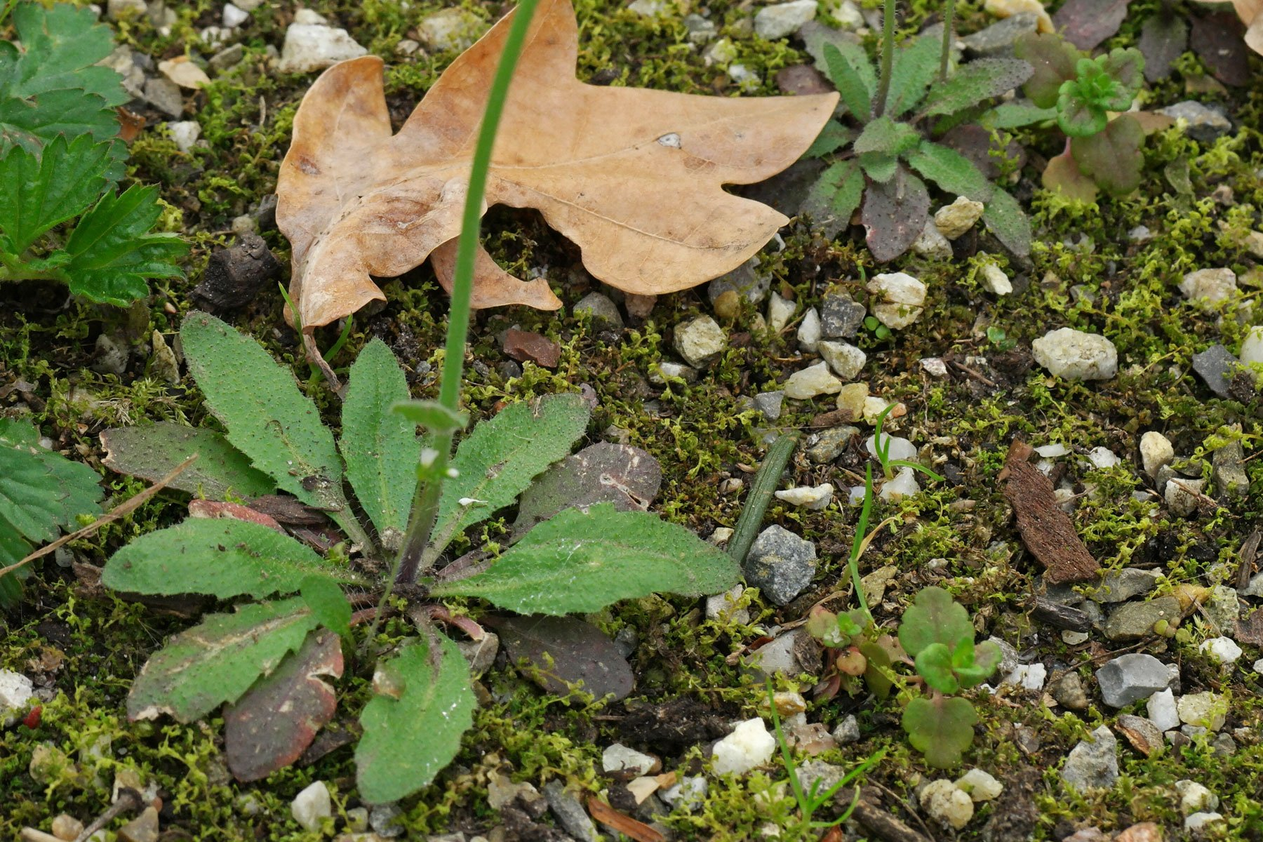 Acker-Schmalwand Blätter