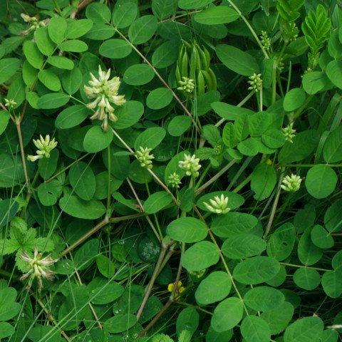 Astragalus glycyphyllos Süßholz-Tragant