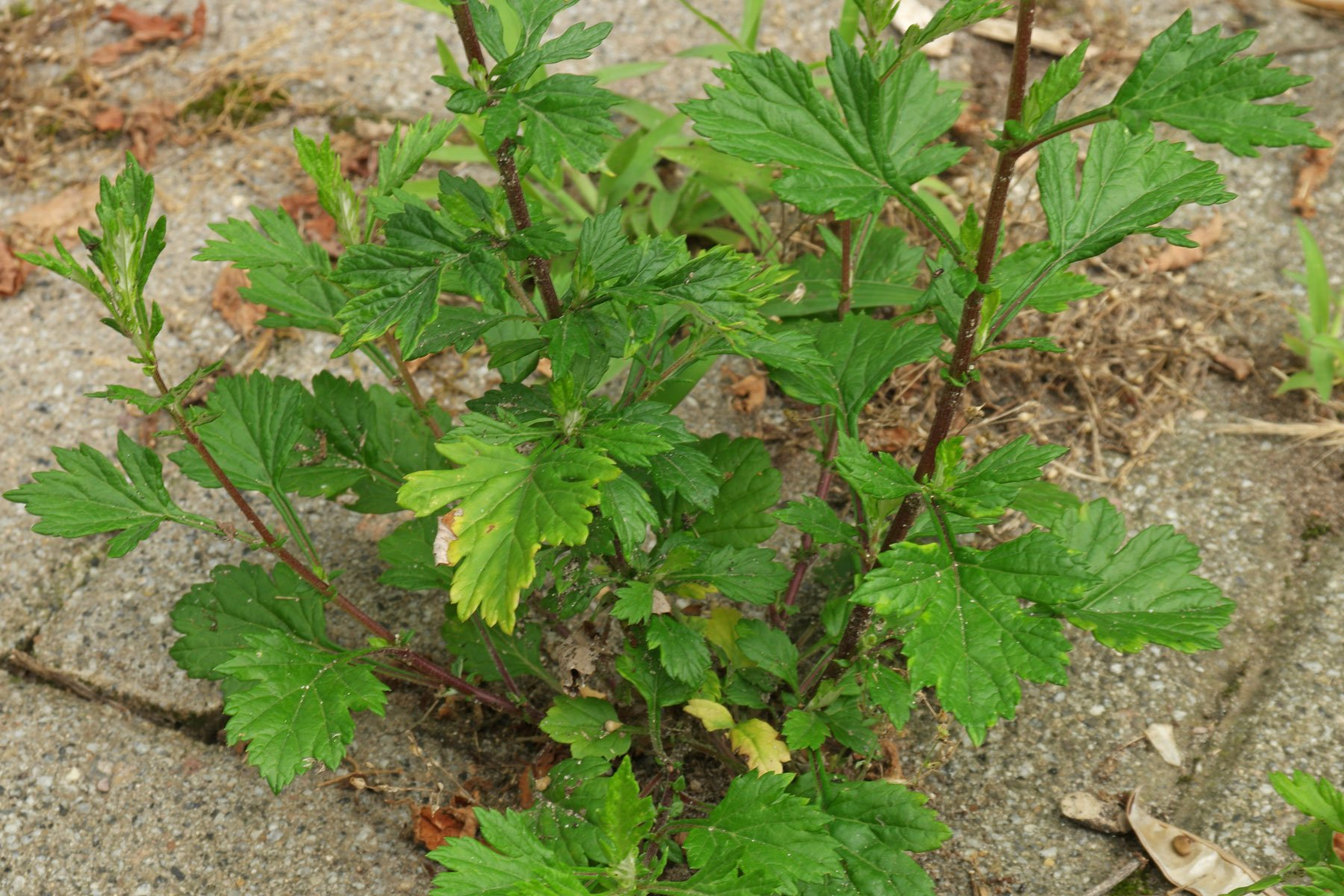 Beifuss-Blätter