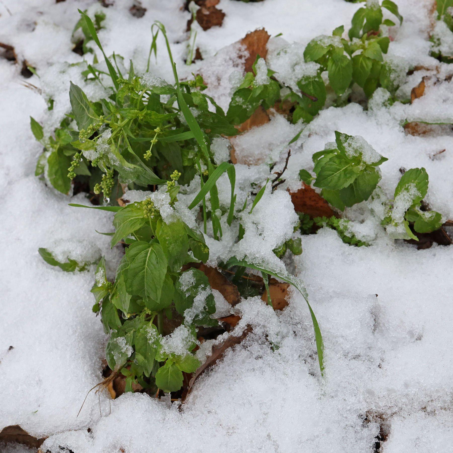Bingelkraut-im-Schnee