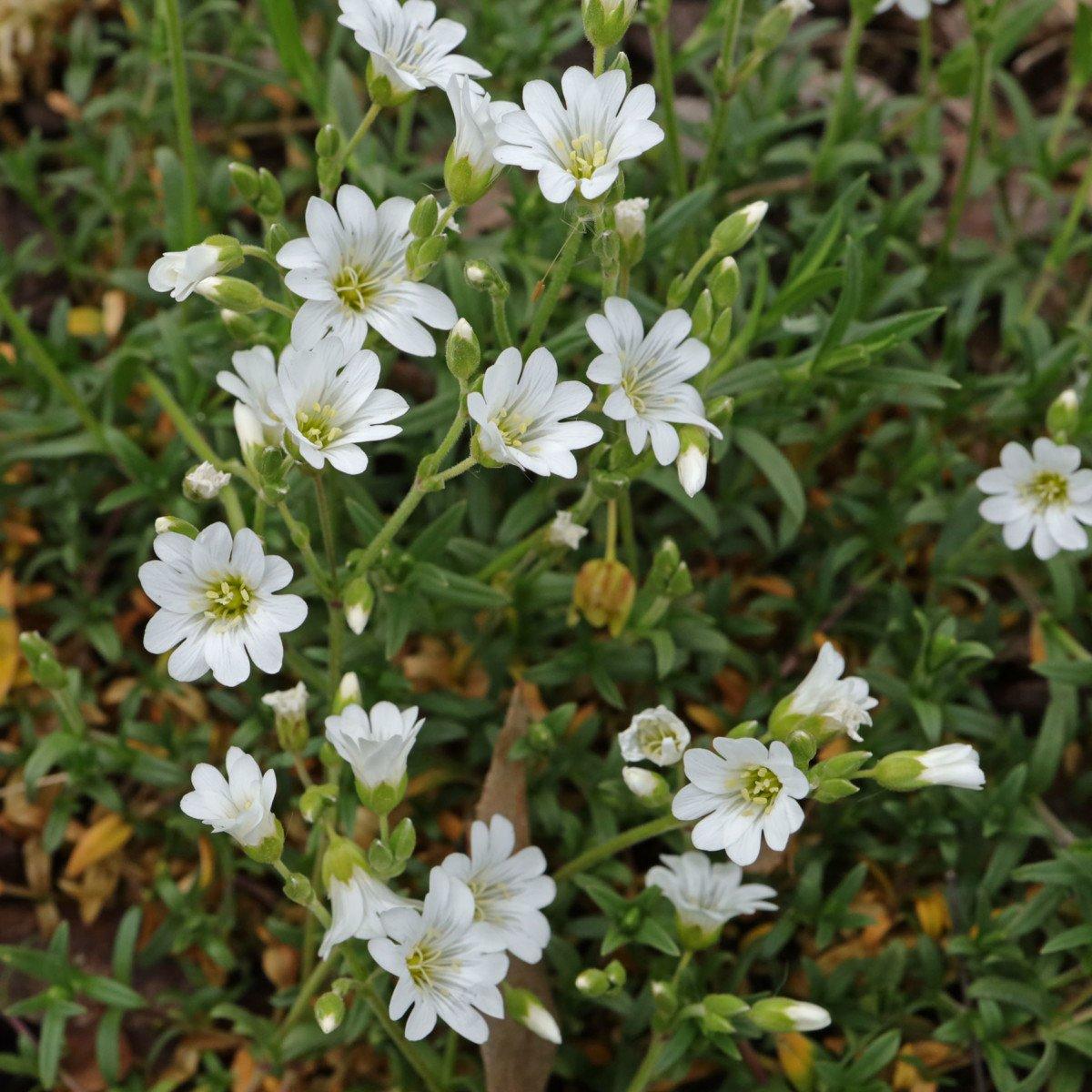 Cerastium arvense ssp. arvense