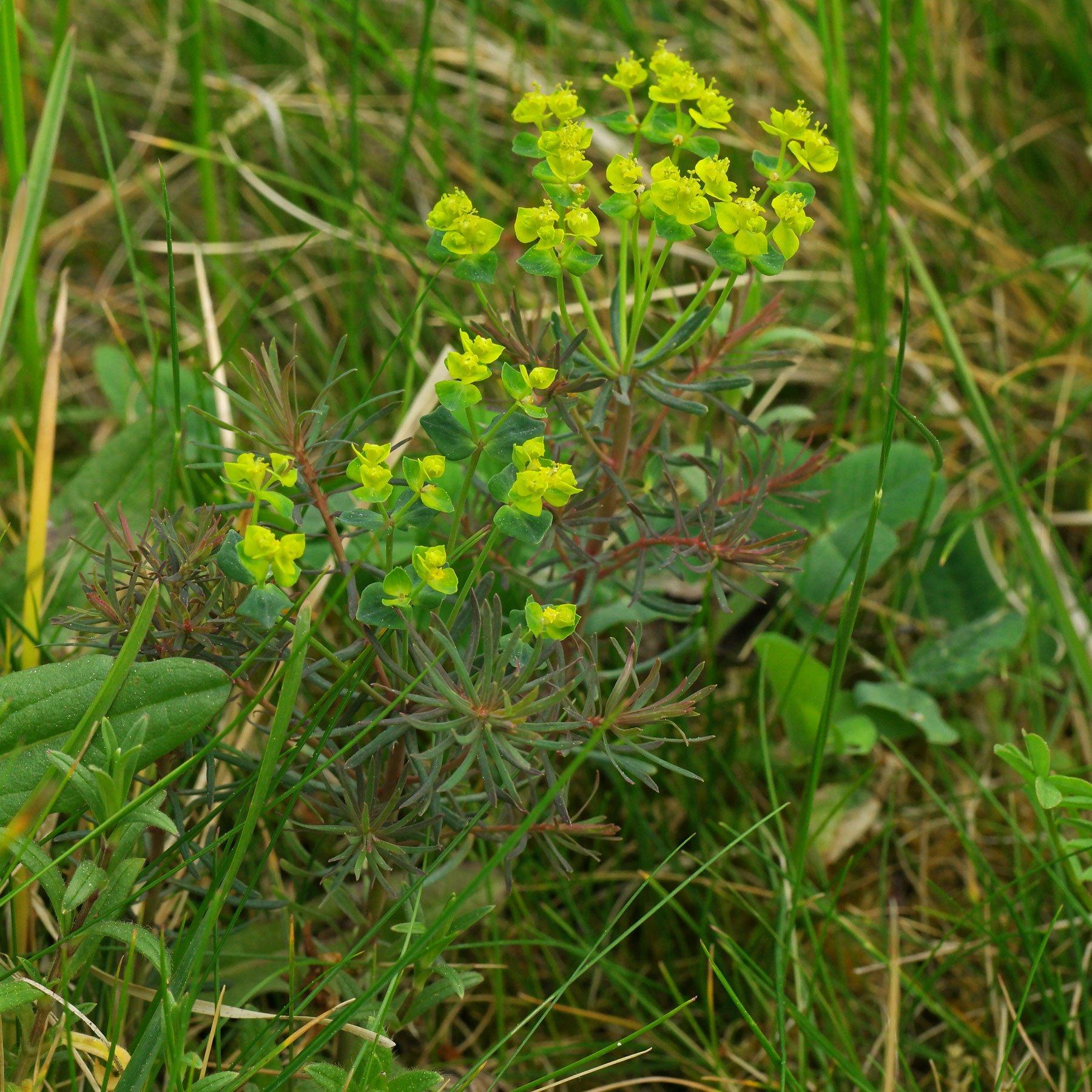 Euphorbia-cyparissias-Rubra