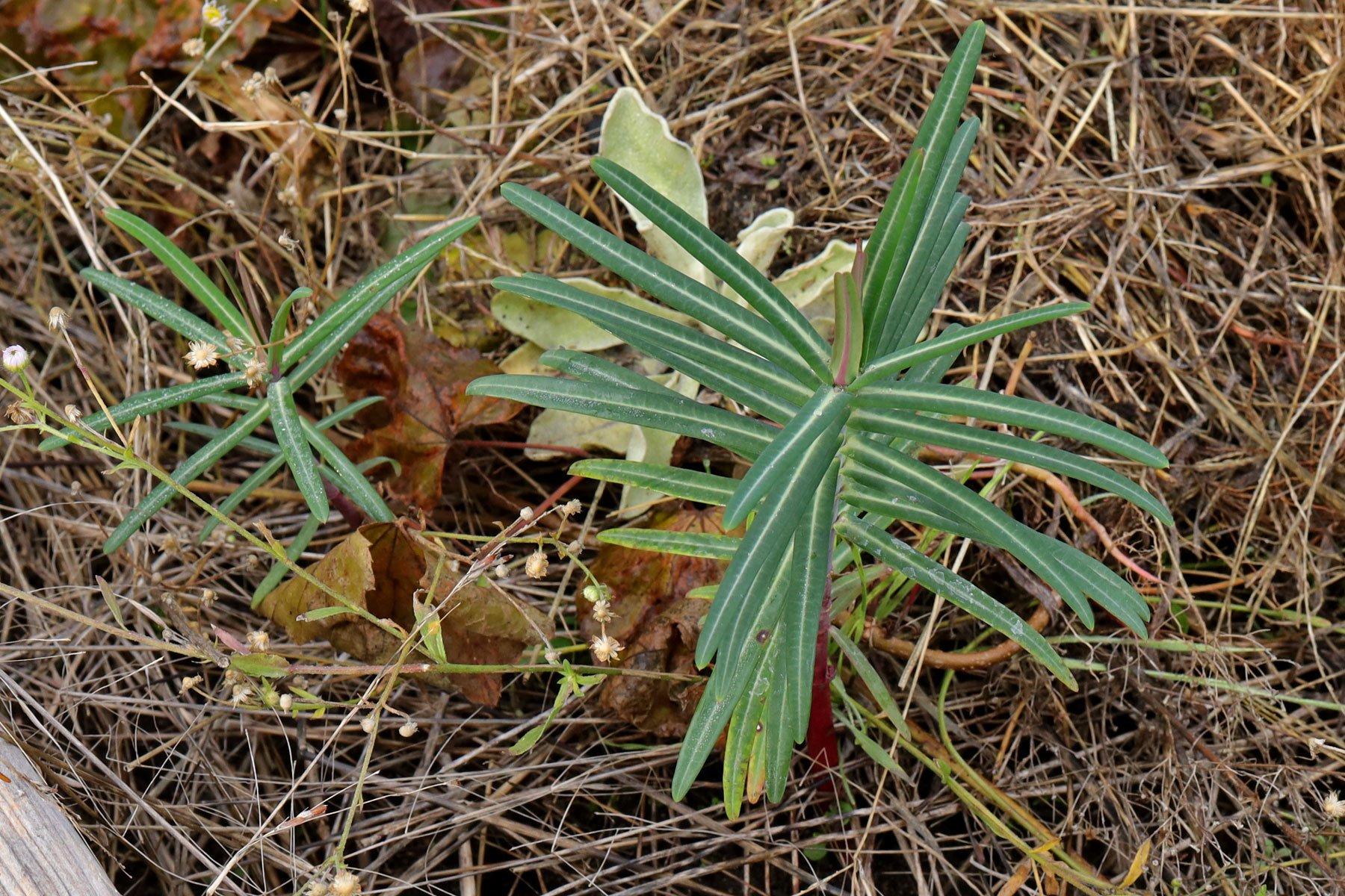 Euphorbia lathyris Blätter