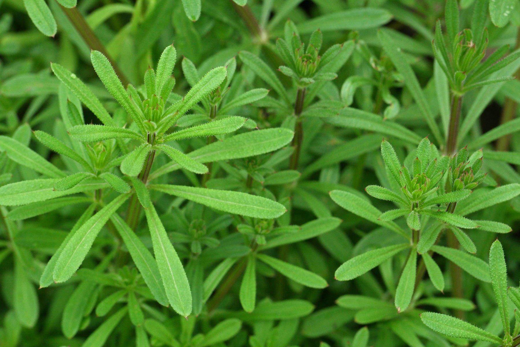 Kletten-Labkraut Blätter
