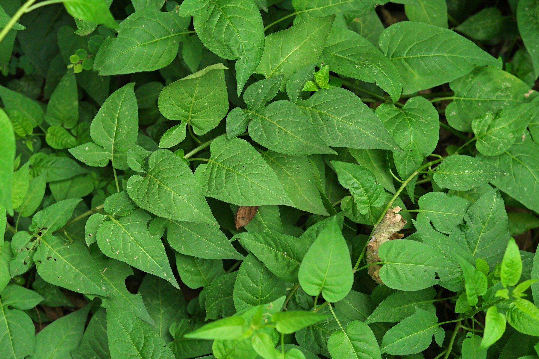 Nachtschatten Blätter
