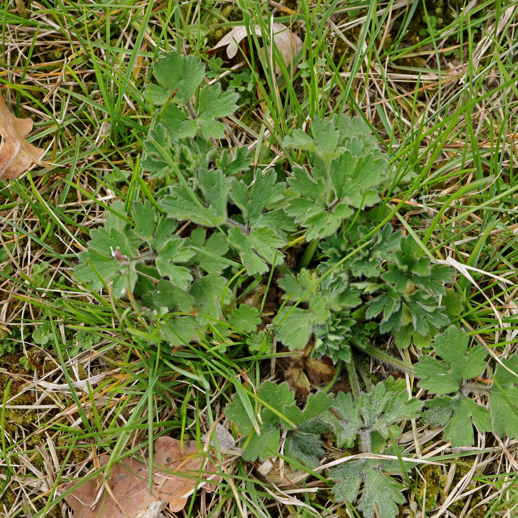 Ranunculus bulbosus im Rasen