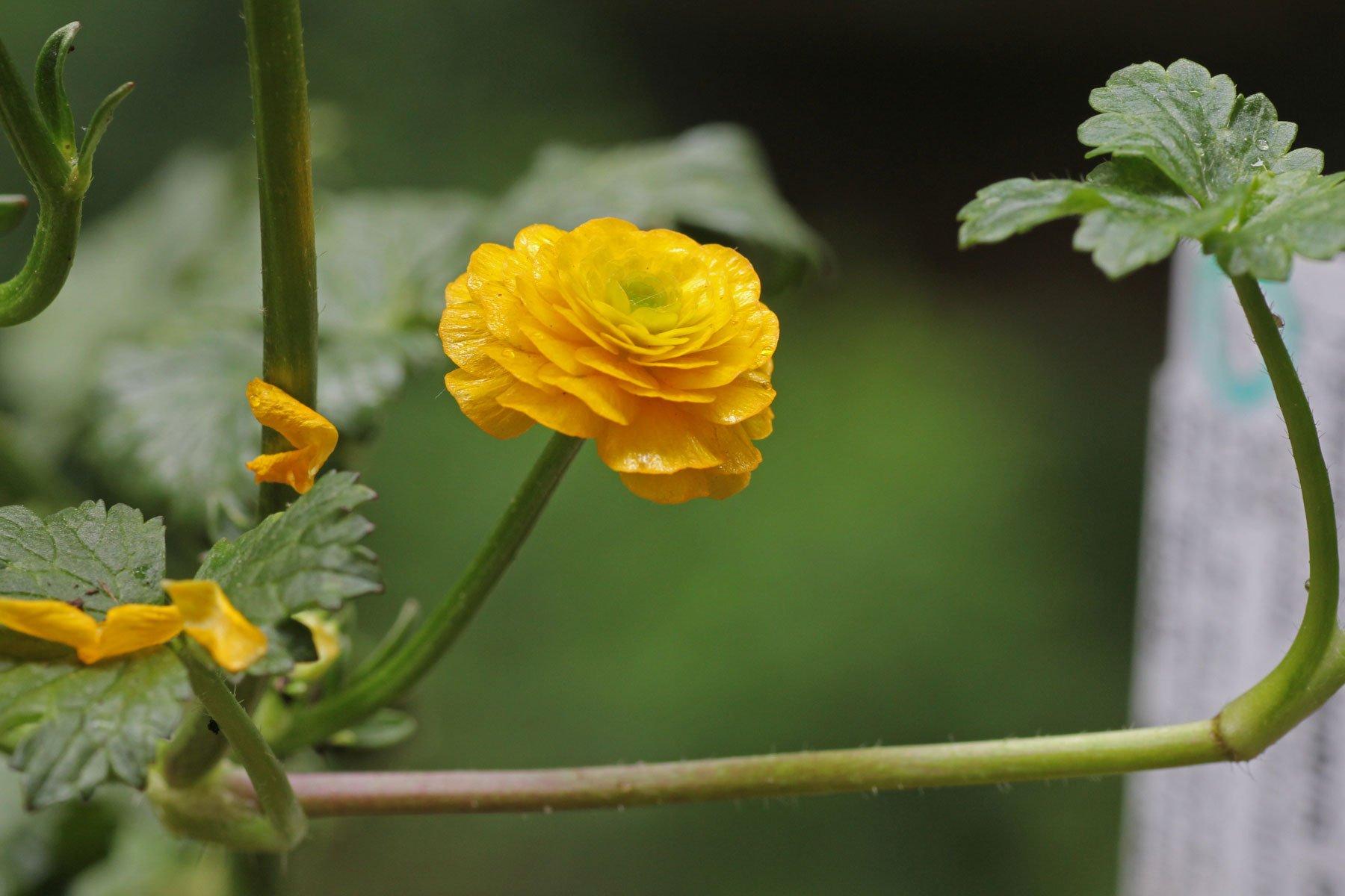 Ranunculus repens Pleniflorus