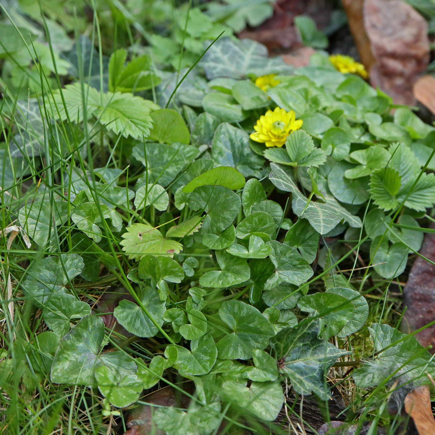 Scharbockskraut im Garten