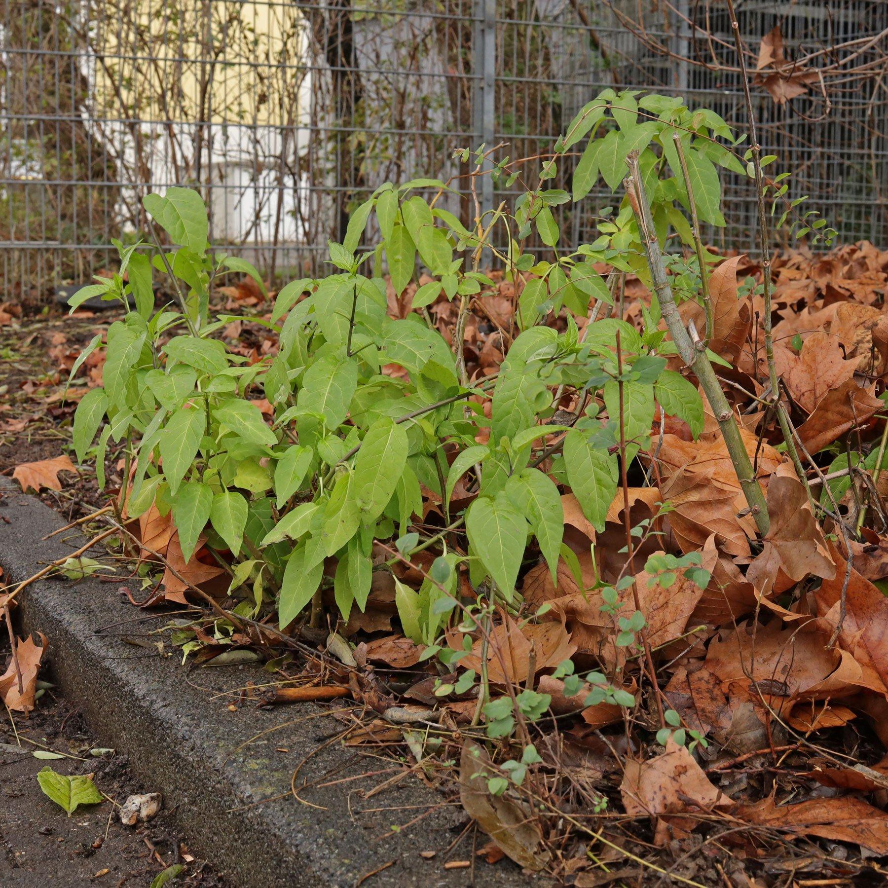 Solanum dulcamara am Wegrand