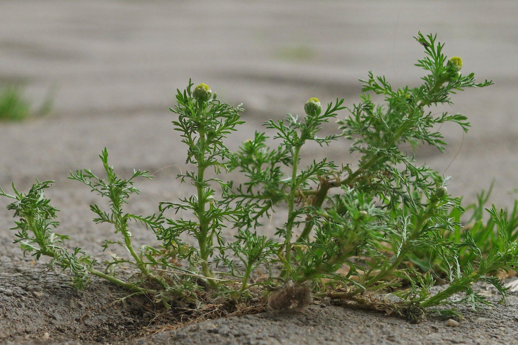 Strahlenlose Kamille Blätter
