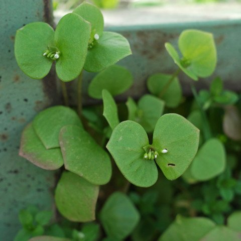 Tellerkraut Claytonia perfoliata