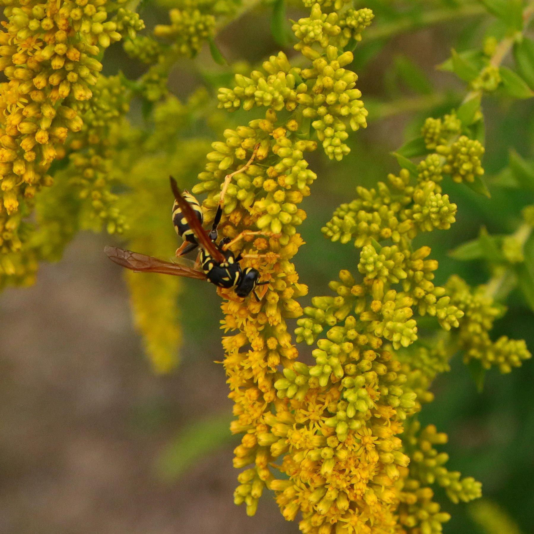 Wespe auf Goldrute