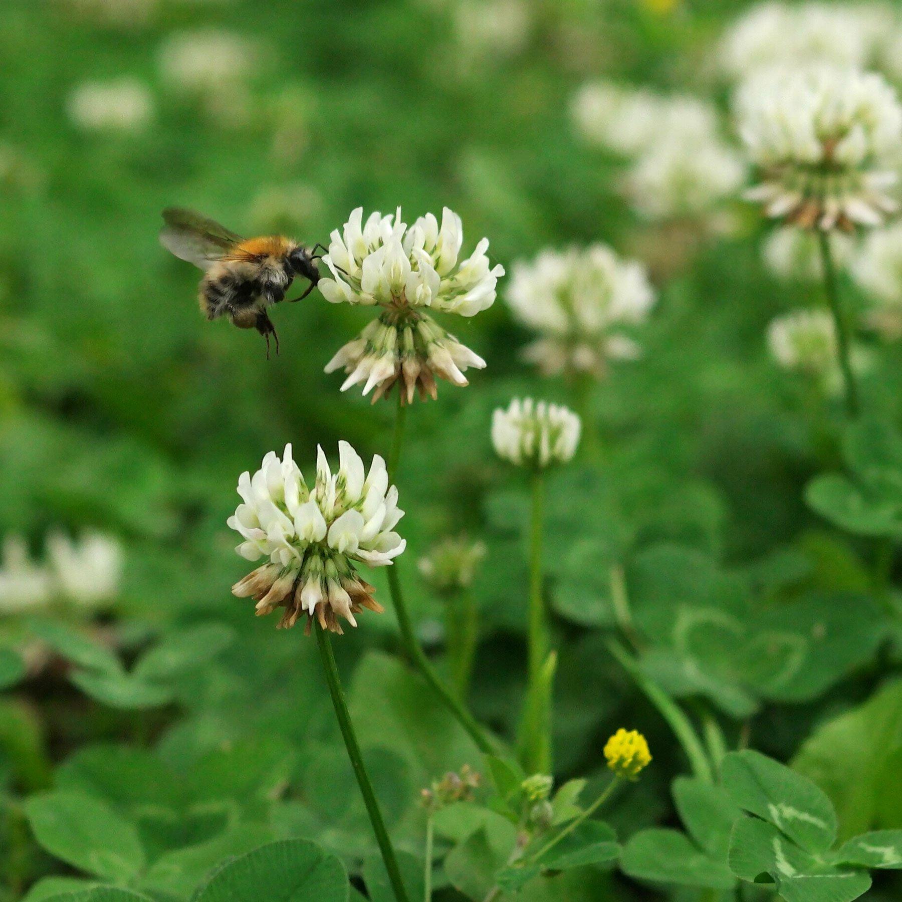 Wildbiene an Weiß-Klee