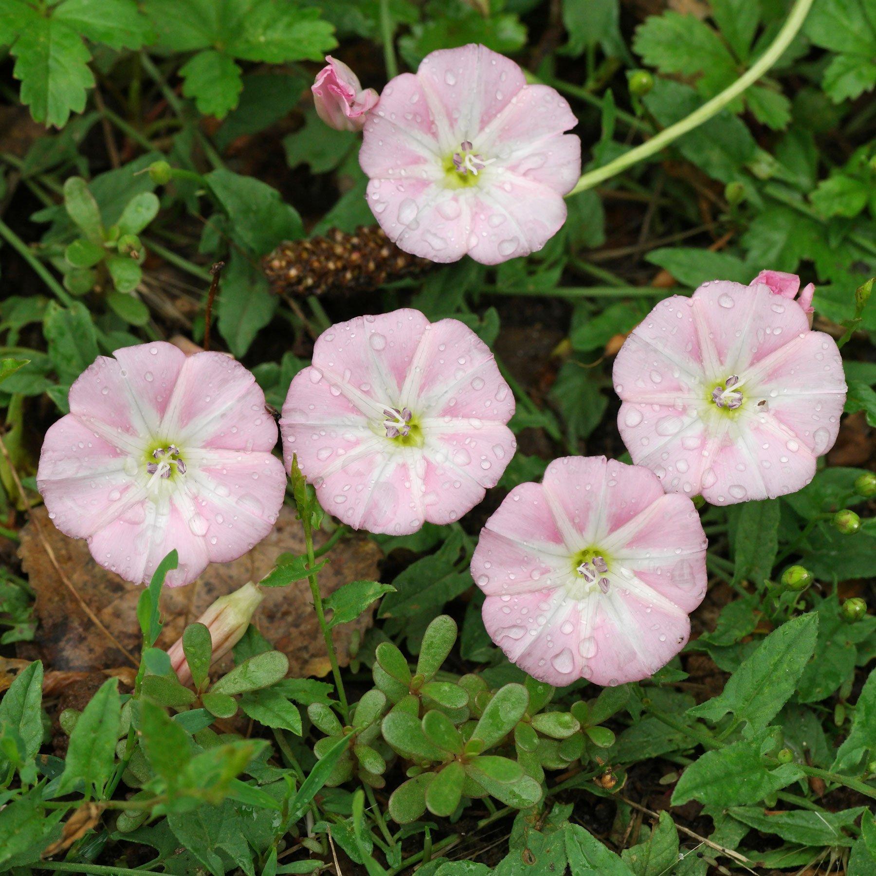 Acker-Winde weiss rosa