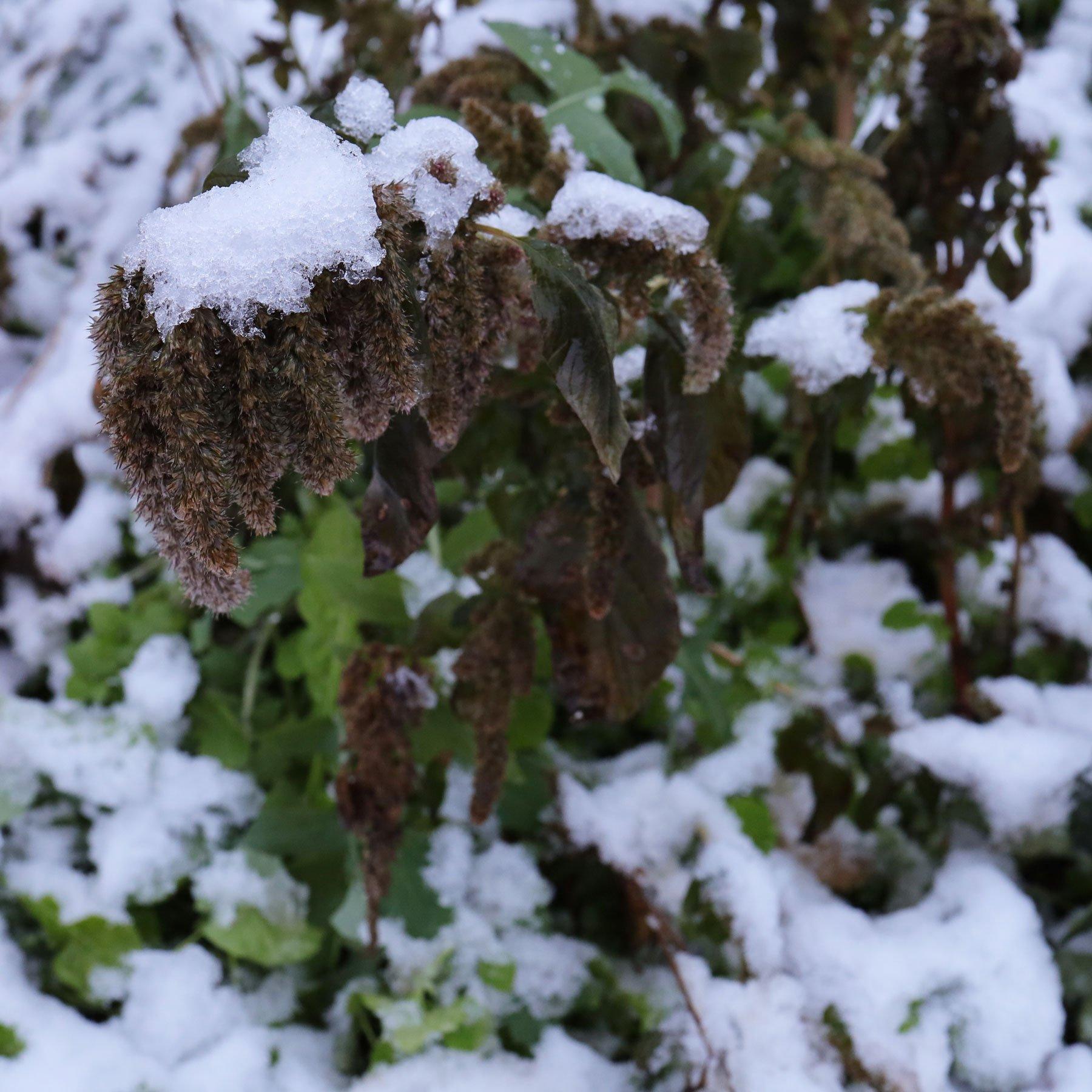 Amarant im Schnee