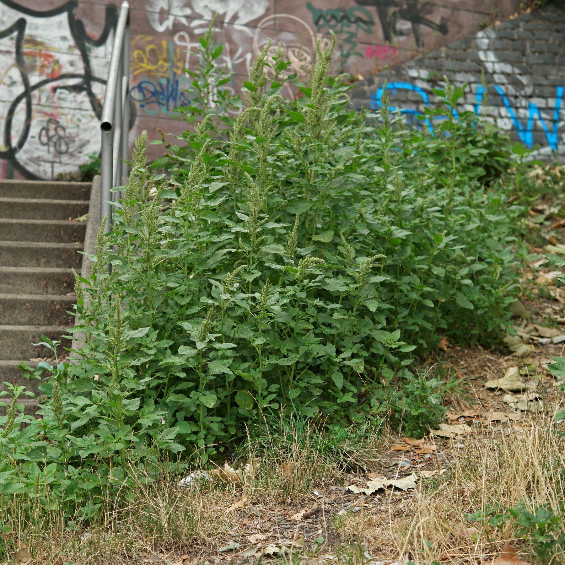 Amarant neben Treppe