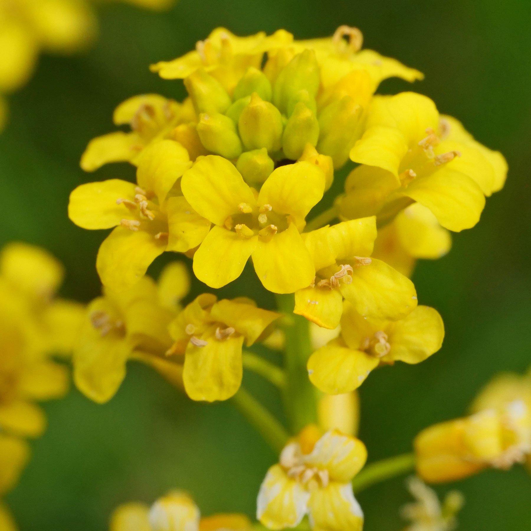 Barbarakraut Blüten